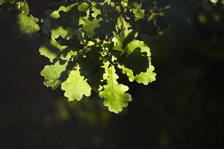 Leaves of Quercus under the sun in the forest, summer time, Poland.
