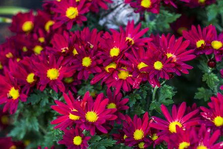 Red chrysanthemum, daisy flower blooming in the summer garden. 스톡 콘텐츠