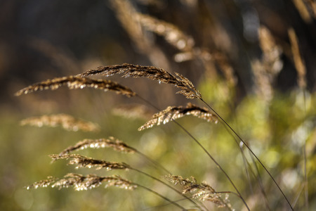 Wilted grass shines in the sun in the autumn season. Stock Photo