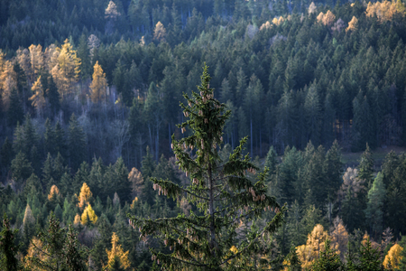 Pine with pine cones on the background of forest in Karkonosze, Poland.