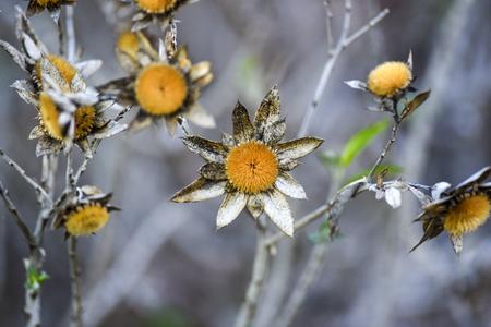 Dried gold coin daisy flower in the garden, autumn season, Lanzarote Canary Islands Stock Photo