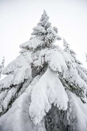 Winter landscape, coniferous trees snow covered in Karkonosze mountains in Poland. Stok Fotoğraf