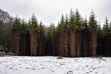 Pine forest in winter, landscape of brown-green trees. Reklamní fotografie