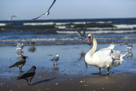 Swan on the beach fighting with crows.