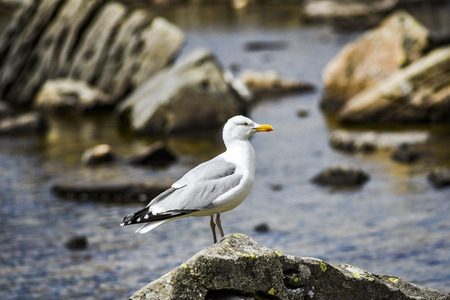 Seagull on a stone against the background of lakes in the mountains of Snowdonia in Wales, UK. Banco de Imagens