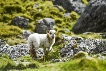 A small lamb grazing on the grass in England.