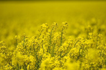 Blooming oilseed rape, rape fields.