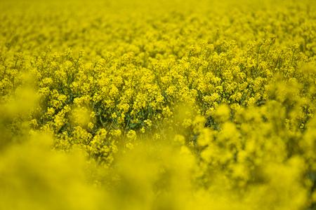 Blooming oilseed rape, rape fields.