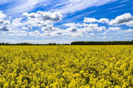 Rural landscape, rape field on a background of blue sky. Banco de Imagens