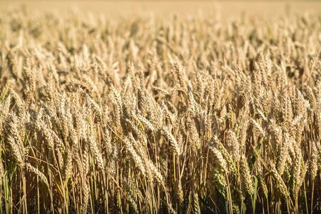 Grain ripening in the field. Texture with copy space.