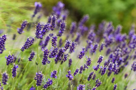 Lavender blooming in the garden.