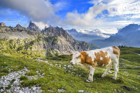 A cow grazing on the green hills of the Italian Dolomites. Фото со стока