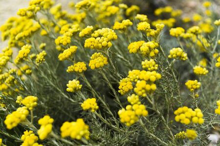 Helichrysum stoechas blooming in a field springtime.