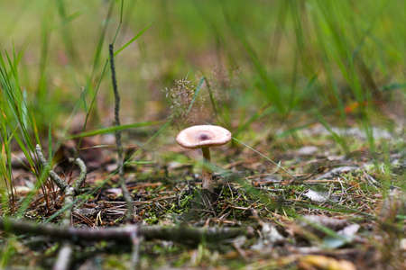 A lone mushroom growing in the forest.