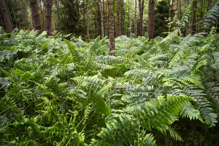 Blooming fern leaves in the forest.