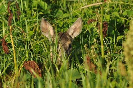 timidity: Young deer hidden in the grass Stock Photo