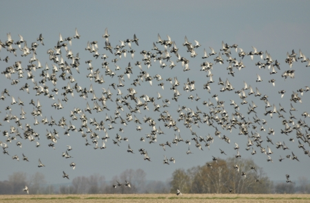 timidity: Flying flock of birds, spring migration, golden plover Stock Photo