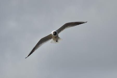 alarming: Gaviota volando sobre su cabeza de ave Alarmante