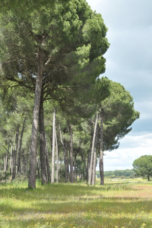 colic: The edge of the forest, pine Iberian  Meadow with herbaceous vegetation  Stock Photo