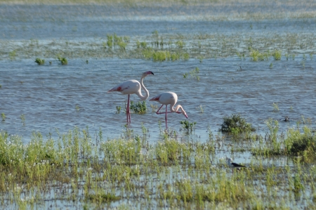 Flamingos, pink birds, feeding in the marshes in the south of Spain  photo