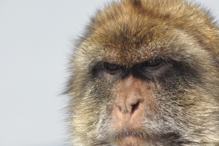 primates: Macaque, monkey portrait, Gibraltar  Boar primates in the wild