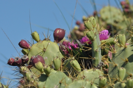 fleshy: Prickly pear, cactus blooming and fruiting  A freshly buds and fleshy leaves