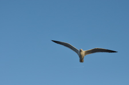 alarming: Seagull flying over your head. Alarming bird Stock Photo