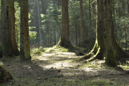 undergrowth: The trunks of the trees in the spruce forest. The rays of the sun breaking through the treetops.