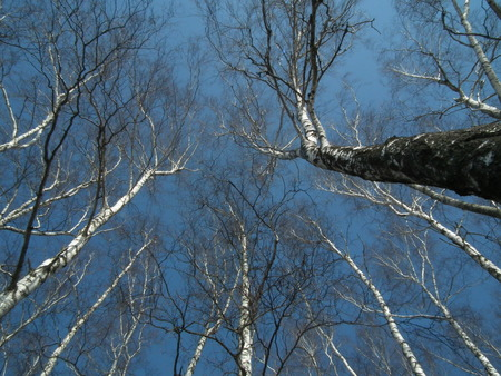 swaying: The crowns of trees on a background of blue sky. Birch trees swaying in the wind.