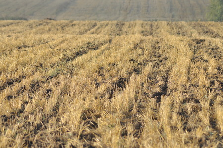 finite: Stubble after harvest finite. Mowed agriculture. Autumn in Poland.