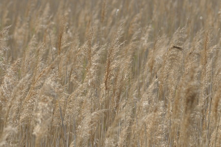 swaying: Reed swaying in the wind dry grass. Panicles of seeds