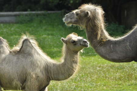 running camel: A camel in the zoo, mammal desert Stock Photo