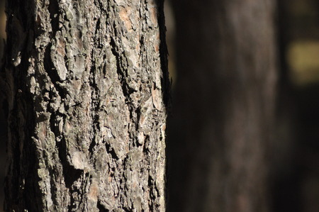 monoculture: The trunks of the trees in the pine forest. monoculture cultivation