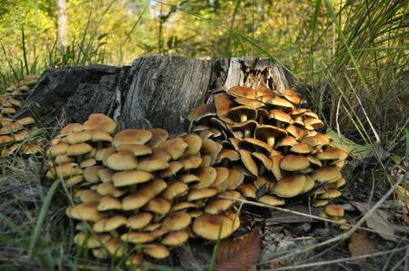 esporas: Setas en el bosque. Recogida de setas. Oto�o. Setas comestibles y venenosas. Los cuerpos fruct�feros producen esporas. Foto de archivo