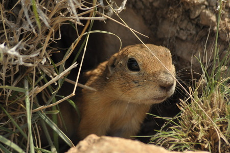 burrow: Gopher looking out of the burrow. Danger to life. Central Turkey Stock Photo