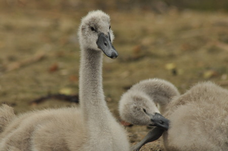 ugly duckling: Chicks mute swan resting on the beach. Lake Mazury, Poland.