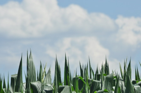 maturation: Field corn. Leaves of corn on the sky. The growth of the crop. The maturation of the crop. Stock Photo