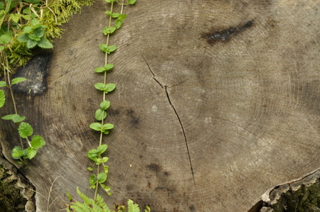 frail: Knocked down the trunk. Jars of tree and plant leaves climbing frail against the trunk.