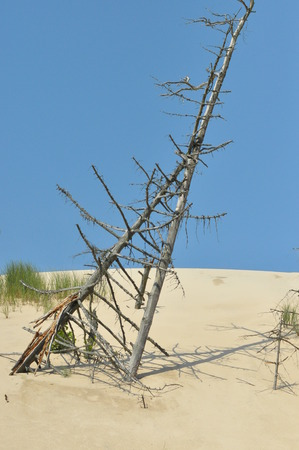 Dead tree buried in the dunes. The sand in the desert in the Slowinski National Park, Tourism