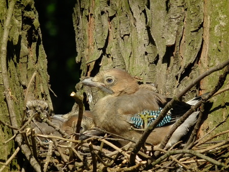 immobility: Young jays. Chicks sitting in the nest. Family of birds