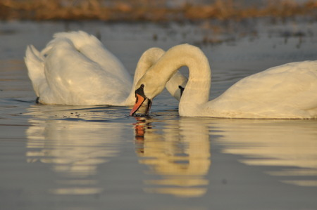 faithfulness: Swans swimming on the river. A pair of birds on the water. Love and faithfulness.