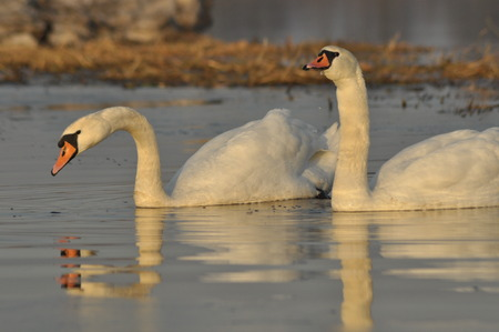 ugly duckling: Swans swimming on the river. A pair of birds on the water. Love and faithfulness.