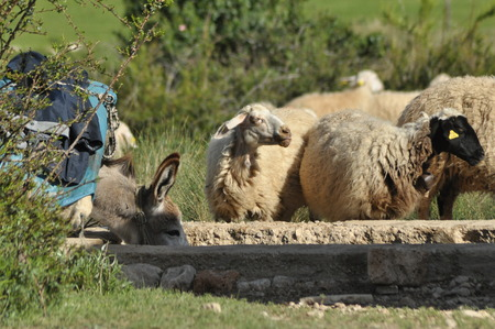 quenching: Spent with his flock of sheep grazing. Quenching thirst at the watering hole. Stock Photo