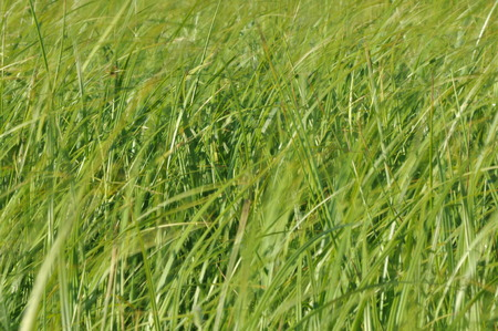 haymaking: Sedges swaying in the wind. Wet meadow during haymaking. Lush green grass.