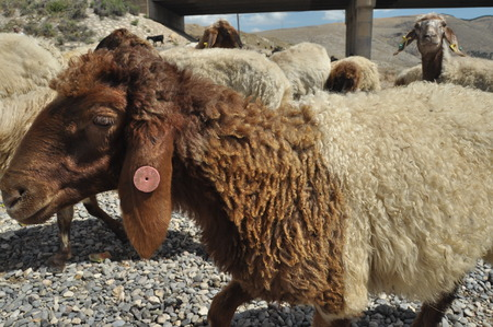 spent: Spent sheep from pasture. Back to the bait. Wool animals Stock Photo