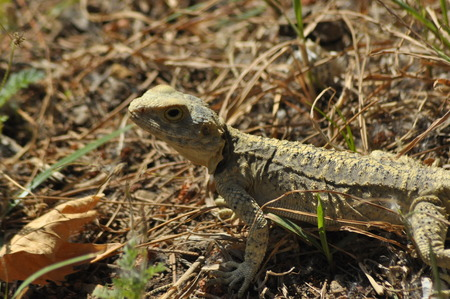 coldblooded: Lizard basking in the sun. Cold-blooded reptile. Skin covered with scales.