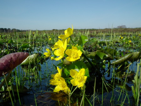 palustris: Marigolds, Caltha palustris, yellow flowers blooming in spring on a boggy meadow Stock Photo