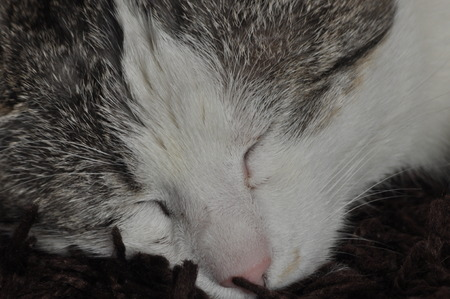 purring: The sleeping and purring cat. Pet. Rest and relaxation.