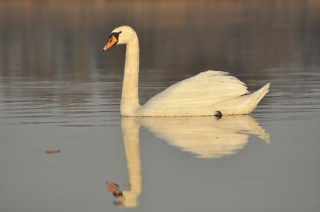 fidelidad: Cisnes que nadan en el r�o. Un par de p�jaros en el agua. El amor y la fidelidad.