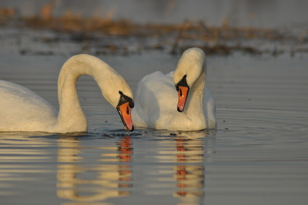 fidelidad: Swans swimming on the river. A pair of birds on the water. Love and faithfulness.